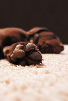Does your dog ever refuse to wake up and get going? Does your dog ever refuse to wake up and get going? Chocolate Lab Puppies, Goofy Dog, Huge Dogs, Sleeping Puppies, Indoor Pets, English Mastiff, Pets 3, Dog Rules, Dog Photography
