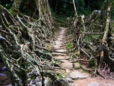India's Amazing Natural Bridges Are Made of Living Roots and Vines
