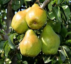 Busuioace cu miez roşu | Zdravăn Paradis, Fruit, Plant