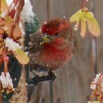 Backyard Finch - Colorado