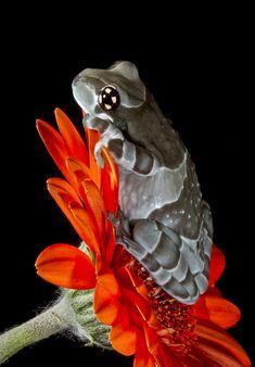 One of Amazon milk frogs