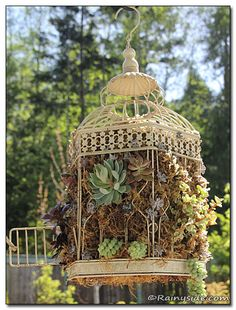 Bird cages are not just for the birds anymore.  This one is filled with succulents.