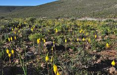 Prof. J. Hitchmough // SOUTH AFRICA // Bulbinella nutans in Rennosterveld near Sutherland, Western Cape, South Africa. These Mediterranean but continental, valleys at around 1500-1800m altitude experience winter minima as low as -15C.