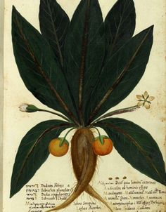 Mandrake by Ulisse Aldrovandi (Italian, Botanical Drawings, Botanical Prints, Botanical Gardens, 11. September, Plant Illustration, Fruit Art, Fauna, Medicinal Plants, Science And Nature
