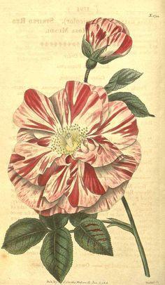 8860 Rosa gallica Aiton var. versicolor / Curtis's Botanical Magazine, vol. 43: t. 1794 (1816) [n.a.]
