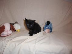 Jebediah is an adoptable Domestic Short Hair-Black Cat in Altoona, PA. Black Hair, Short Hair Styles, Cats, Animals, Hair Black Hair, Bob Styles, Gatos, Animales, Animaux