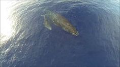 Humpback Whales in Maui From a Drone. A baby whale snuggling with her mother - as seen from a drone.   Thanks to Marty and Ian, I got to tak...