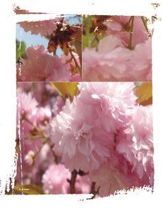 Cherry blossoms Cherry Blossoms, Pastels, Gardens, Jewelry, Jewlery, Cherry Blossom, Jewerly, Outdoor Gardens, Schmuck