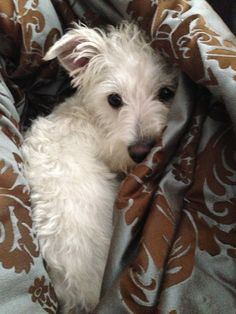 A Wauzer pup :) Westie/Schnauzer! Cute Puppies, Cute Dogs, Dogs And Puppies, Doggies, Chihuahua Dogs, Westies, Yorshire Terrier, White Terrier, Baby Animals