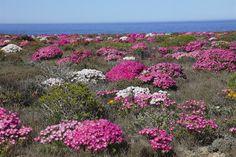 ✿⊱✿⊱FLORES ✿⊱✿⊱✿⊱ Rooi Rose | Namakwaland