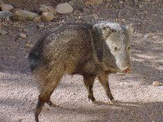 Cutie Boar