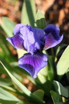 Iris 'Cops'. Iris nain aux pétales bleu moyen sur des sépales bleu violet bordés de bleu.   Parfum musqué.   Parents : Magic Secret X Dark Spark.     Obtenteur : Sobek 1983.