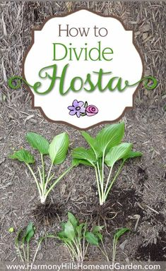 Learn how to divide hostas - make new plants, keep your pants healthy, make your garden gorgeous! Come see at www.HarmonyHillsHomeandGarden.com