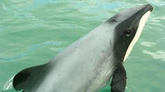 David Tong: Ending threats to Maui dolphins would show NZ keeps its promises