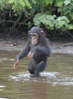 Baby Chimp Left To Die Can't Believe He's Drinking Fresh Water