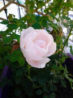 """Potted """"Scepter d' isle"""" david austin rose"""