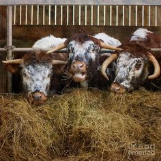 English Longhorn Cattle.  http://shabbychicfineartphotography.artistwebsites.com/   ~  The watermark in the lower right corner of the image will not appear on the final print/product