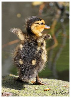 fuzzy little duckling