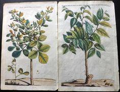 Commelin, Jan & Caspar 1701 Group of Hand Coloured Botanical Prints