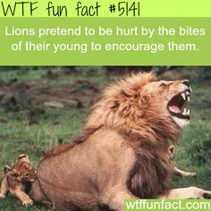 Lions encourage their babies by pretending to be hurt from bites - WTF fun facts