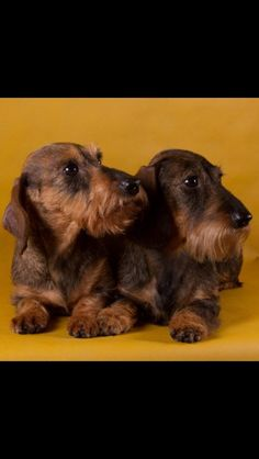 Seriously...I want a wirehair dachshund one of these days! So cute!