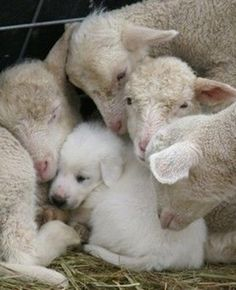 A livestock protection dog pup has sought the comfort of a group of young lambs. I raised my Great Pyrenees pup with my sheep. Had a flock of registered Border Cheviot Sheep for 15 years. She was the best dog! Farm Animals, Animals And Pets, Funny Animals, Cute Animals, Funny Pets, Funny Farm, Vegan Animals, Beautiful Creatures, Animals Beautiful