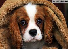 Mutlu Patilerr: Süs Köpekleri Cinsleri...