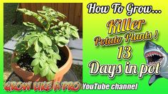 How To Grow A Potato Plant In A Pot   Update 3 Propagation, Vegetable Garden, Seeds, Channel, Potatoes, Gardening, Watch, Youtube, Plants
