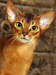 As far back as four thousand years ago, Abyssinian cats were a very original breed of cat in ancient Egypt.