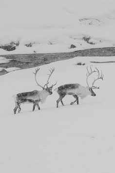 Reindeer. °