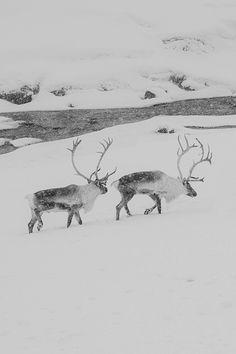totem... my girls. Reindeer. °