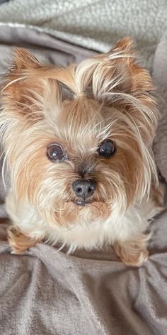 Yorkshire Dog, Yorkshire Terrier Puppies, Teacup Yorkie, Yorkie Puppy, Cutest Dogs, Cute Dogs And Puppies, Yorkies, Yorshire Terrier, Dog Rules