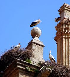 cigüeña La Cigüeña de la Torre en INFOVATICANA Madrid, Storks, Nests, Wild Life, Towers, Animal Kingdom, Baby Animals, Birds, Holidays