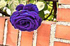 La rosa azul - null