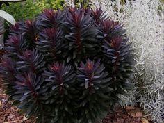 A Lovely Last Call   Fine Gardening - Euphoria Blackbird - This is beautiful