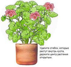 Процесс формирования пеларгоний (гераней) необходимо начинать уже в самом раннем возрасте, чтобы получить многочисленные боковые побеги. Прежде, чем Вы начнете обрезку и формирование (прищипку), следует определить генетическую форму, в которой растение собирается расти естественным путем, без Вашего вмешательства. Действительно ли это растение с прямостоячим высоким стеблем, или это растение хочет быть низким кустом, или по своему характеру роста оно собирается ниспадать каскадом? Когда Вы…