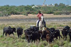 Gardian en Camargue : le chef des taureaux...