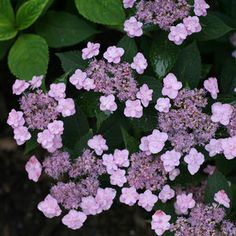 Buy Hydrangea Tiny Tuff Stuff Shrubs Online. Garden Crossings Online Garden Center offers a large selection of Hydrangea Plants. Shop our Online Shrub catalog today.