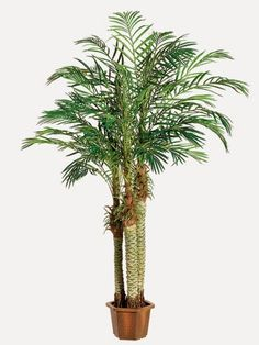 Exotic !! Exotic !! LPX987-GR  7' Robellini Palm Tree x3 in Pot (Knockdown Packing)