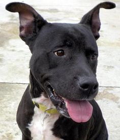 "LUCY ""20 Lucy"" - URGENT - Stark County Dog Warden in Canyon, Ohio - ADOPT OR FOSTER - Young Female Pit Bull Mix - Available September 13, 3016 - Lucy is a sweetheart, she is a bit shy, but wants to be close to someone. She looks as if she had a litter of pups recently, she has skin irritation on her chest, and neck area. Lucy has such a sad look at times, those eyes just melt your heart."