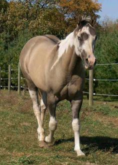 Grulla stallion face horse