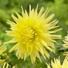 Dahlia Yellow Star. Yellow Star has been among the best yellow dahlias for 60 years running. Slightly flared petals give the flowers a softer look than most cactus dahlia