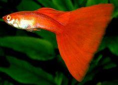 Fancy Guppy fish aquarium - water quality and conditioning | Guppies - Poecilia reticulata
