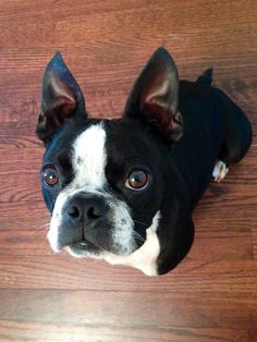 Billy the Boston, adopted from Eleventh Hour Rescue – Randolph, NJ: Billy the Boston is so handsome. Look at that face!! How could anyone resist?. He's perfect!""