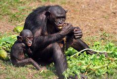 Bonobo   Bonobo