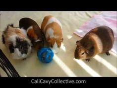 Guinea Pig Toys: Egg-cersizer treat dispenser and other cage toys/accessories