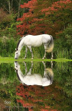 #nature : White Ripples by kevinforrister. A ridiculously beautiful picture of a white horse by a pond in Autumn.