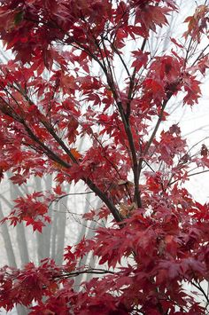 ✮ Early morning fog and a brilliant red maple in full autumn color
