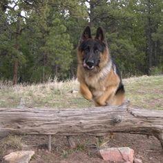 Begin guard dog training early in a German Shepherd's life.