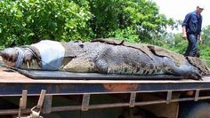 THE second biggest crocodile ever caught in Australia has been hauled in by the Northern Territory's own Outback wrangler Matt Wright.